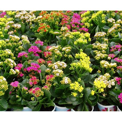kalanchoe care outdoors images