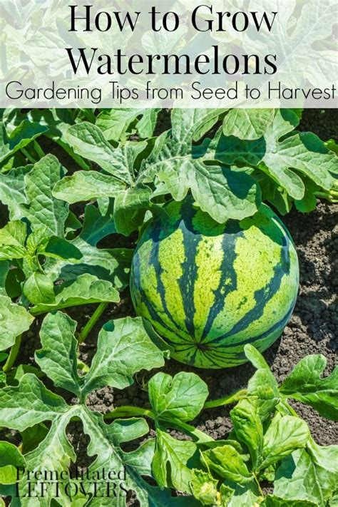 How To Plant Watermelon In A Garden best 25 watermelon plant ideas on how to grow