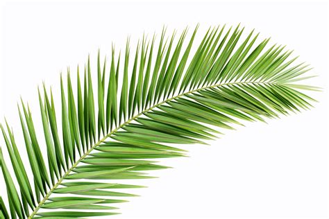 Branch Decorations For Home by Palm Tree Leaves Stock 04 Jpg 2 550 215 1 700 Pixels Plantas
