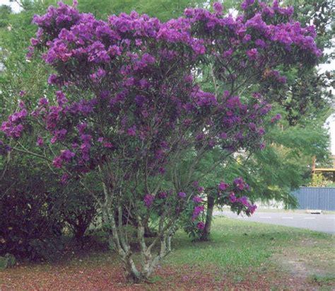 purple flowering tree flickr photo sharing