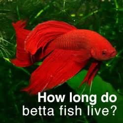 How Long Do Betta Fish Live?   Tips to increase your bettas life