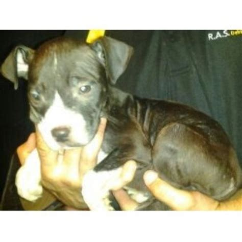 free pitbull puppies in pa my pitz american pit bull terrier breeder in new kensington pennsylvania