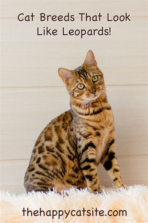 house cats that look like leopards domestic cats that look like leopards 12 super wild looking breeds