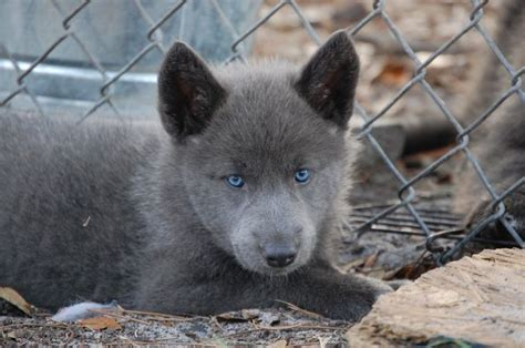 blue bay shepherd puppies 1000 images about blue bay shepherd on