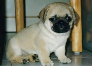 baby+<strong>pug</strong>_1.jpg