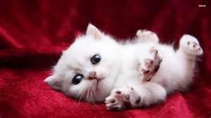 Super cute white kitty aw look at the sweet kitty