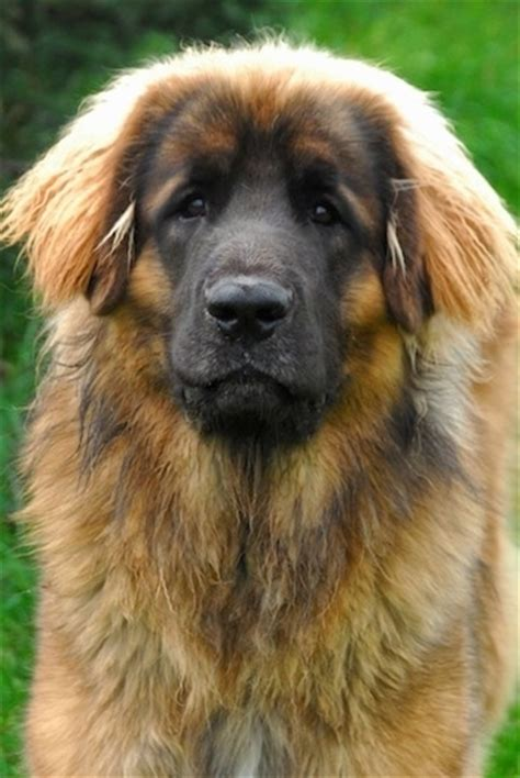 leonberger dogs leonberger breed information and pictures