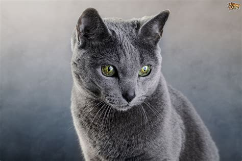 blue cat russian blue cat breed information buying advice photos