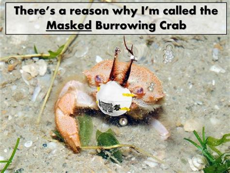 Crab Meme - god s wonderful creation lots of masked burrowing crabs