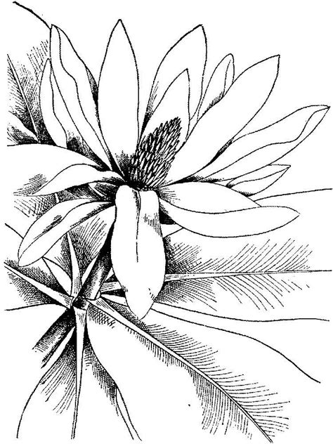 coloring pages of magnolia flowers magnolia coloring pages and print magnolia