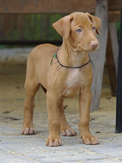 pharaoh hound puppies pharaoh hound not in the housenot in the house