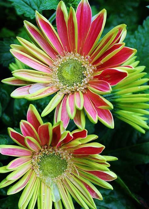 gerber daisies gerber daisies photograph by bruce bley