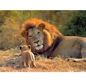 Los Leones Son Originarios De &193frica Y Asia El Le&243n Asi&225tico