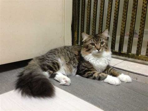 purebreed maine coon cat for sale adoption from kuala