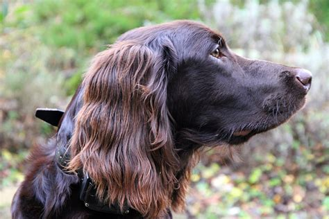 german longhaired pointer puppies german longhaired pointer photo and wallpaper beautiful german