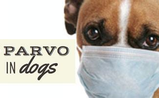 signs of parvo in puppies parvo in dogs warning signs and prevention of parvovirus
