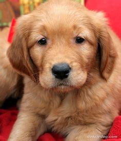 cheap golden retriever puppies for sale in california 1000 images about my of on great danes blue great dane puppies