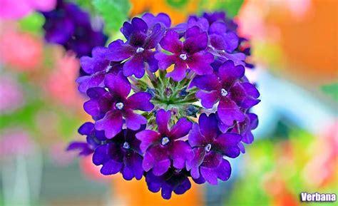 fior di verbena purple flowers 25 pretty small purple flower plants