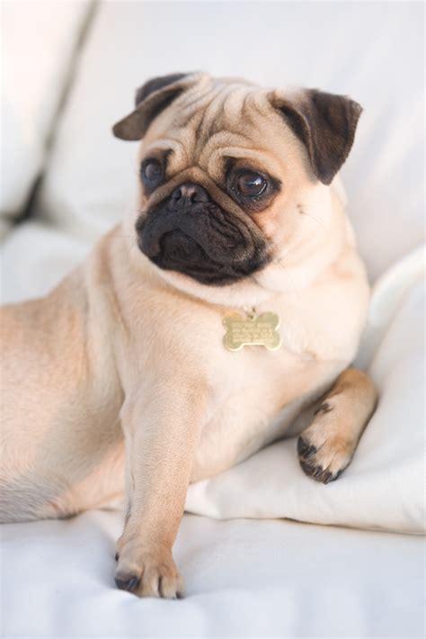 loving pug pug breeds picture