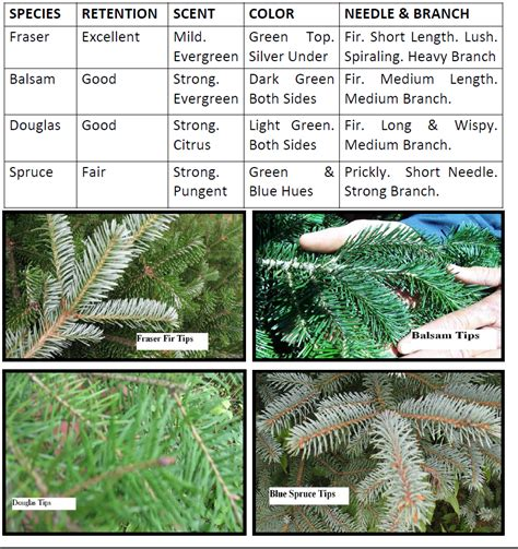 best 28 christmas tree identification balsam fir