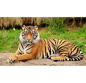 Bengal Tigers Latest Hd WAllpapers 2013  Top Animals Wallpapers