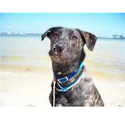 Catahoula Chocolate Lab Mix Images &amp Pictures  Becuo