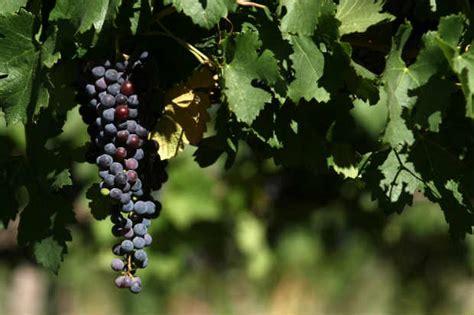 imagenes de uva malbec conhe 231 a tr 234 s tipos de vinhos produzidos com uva malbec