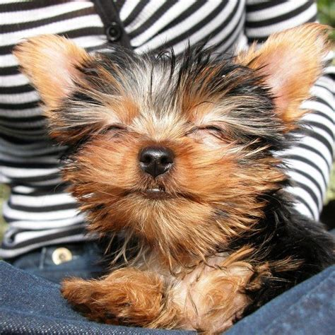 why do yorkies 10 reasons why you should never own yorkies