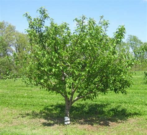 non fruiting plum tree fruit tree care watering fertilizing stark bro s