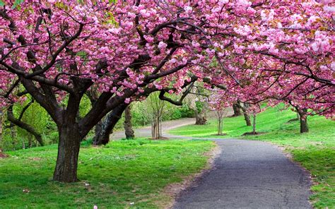 pretty trees beautiful spring flowering tree wallpapers and images