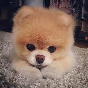 Go back gt gallery for gt cute pomeranian puppies