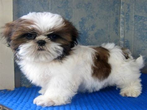 shih tzu breeders in shih tzu puppies breeders tzus breeds picture