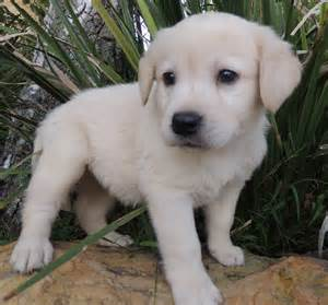 Cream labrador female puppy dogs labrador puppies 746x696px 142721