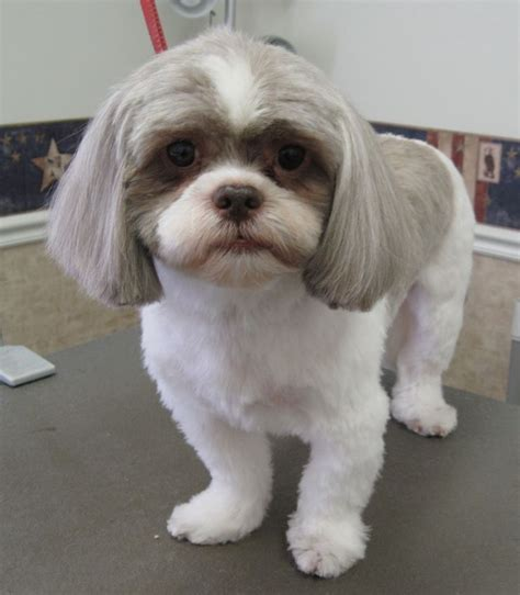 pictures of shih tzu grooming styles shih tzu cut style possibilities pawpular stuff style beards and ears