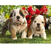 French Bulldog Puppies Wallpapers &amp Pics  Fun Animals Wiki Videos