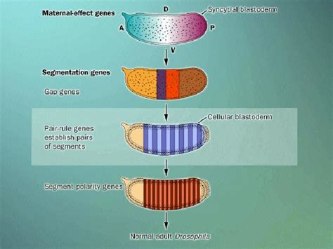 pattern formation definition biology lecture images
