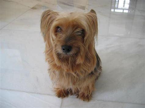 yorkie silky puppies yorkie vs silky breeds picture