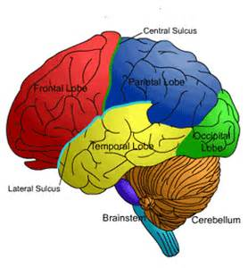 New evidence confirms link between iq and brain cortex
