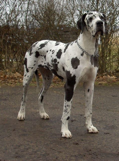 great dane dogs great dane