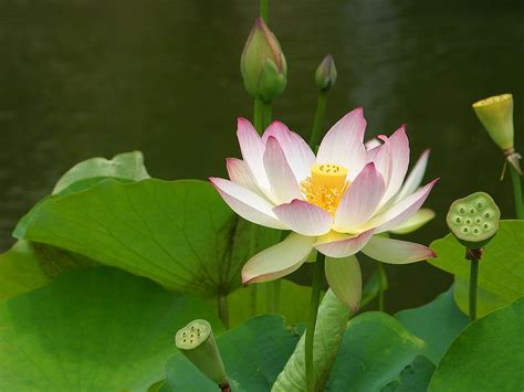 Lotus Images Free Free Flower Pictures Flower Photos Free Commercial