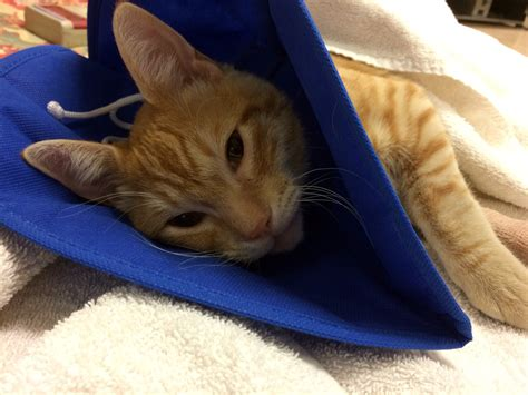 fho surgery shelter vets perform fho save kitten s leg