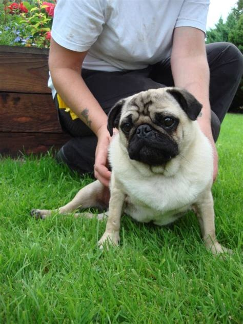 sponsor a pug uk toto the pug is now has a local foster home pet rescue welfare association