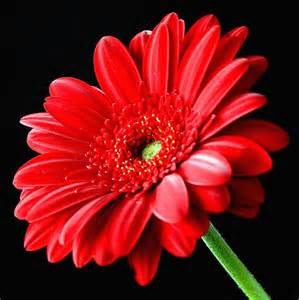 red gerbera daisy flower on black gerbera flowers and