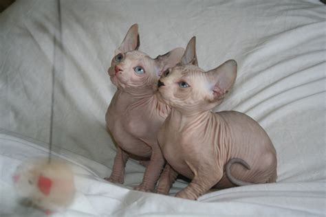 sphynx cats for sale sphynx kittens for sale in ireland 1000sads