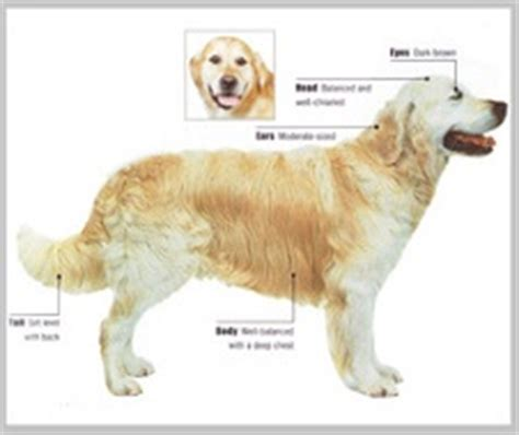 golden retriever weight range golden retriever breed standard appearance coat etc