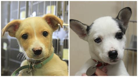 shore puppies shore animal league america puppies from newsday visit stats and bios newsday