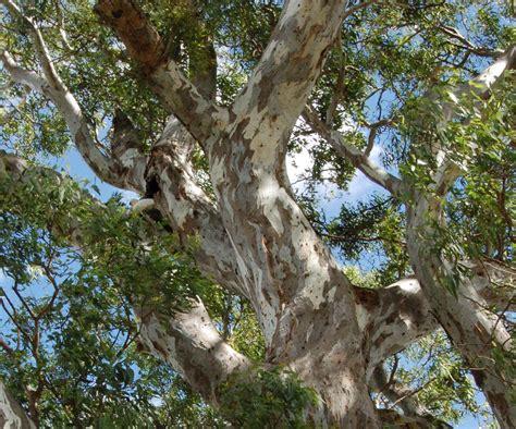 Plante D Eucalyptus by Eucalyptus Planter Et Tailler Ooreka