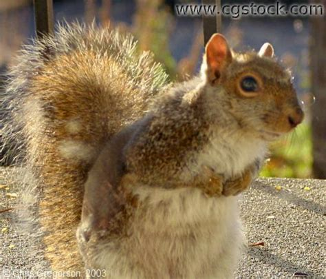 stock photo eastern gray squirrel molting or with mange