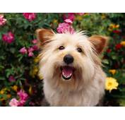 Cairn Terrier Dog New Funny Pet Pictures  DogsCatsBirdsHamsters