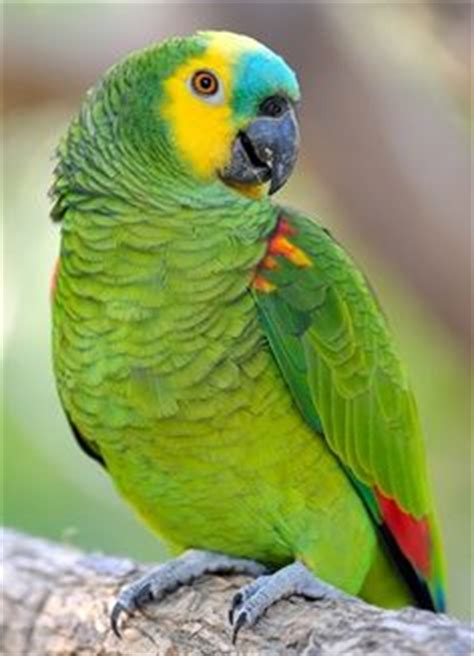 blue fronted amazon housing care behavior as pet pictures singing wings aviary